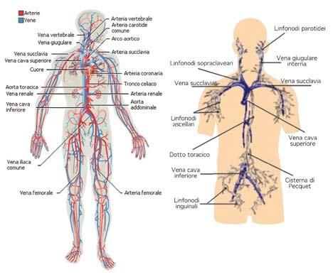 apparato_cardiocircolatorio_linfatico