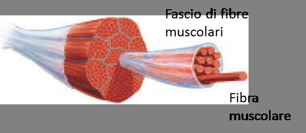 Affaticamento muscolare, Doms, Supercompensazione, Microcorrenti: un metodorivoluzionario!