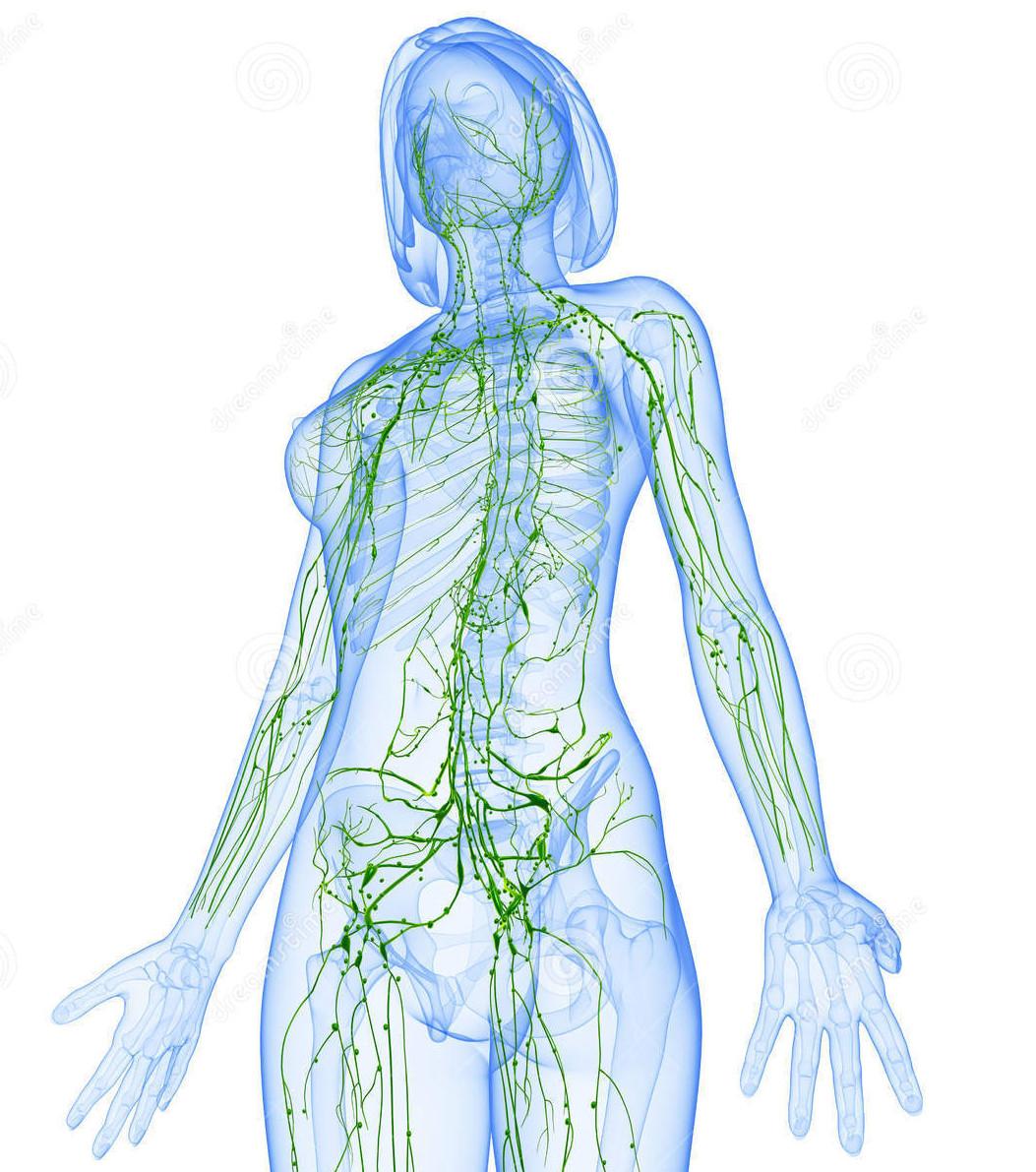 sistema-linfatico-femminile-di-vista-laterale-36217340