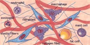 tessuto-connettivo_clip_image002