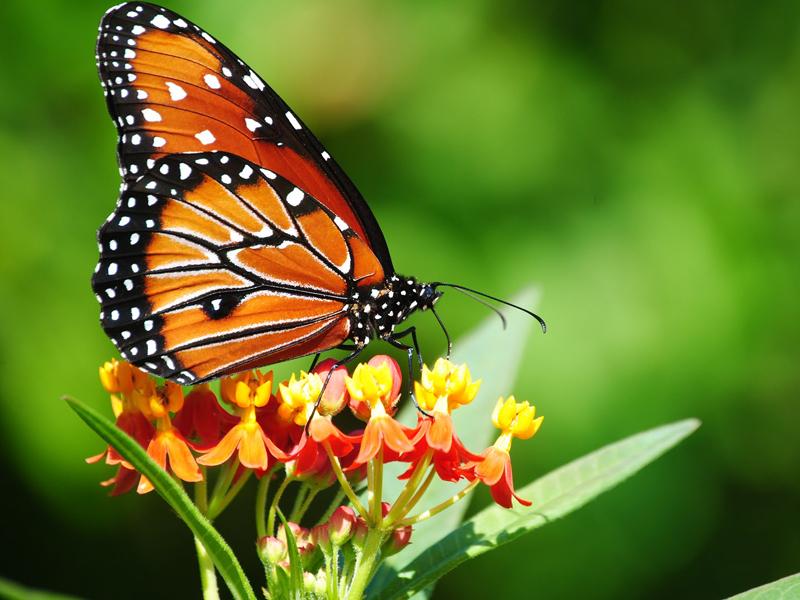 Giardino delle farfalle Farfalla Vanessa atalanta